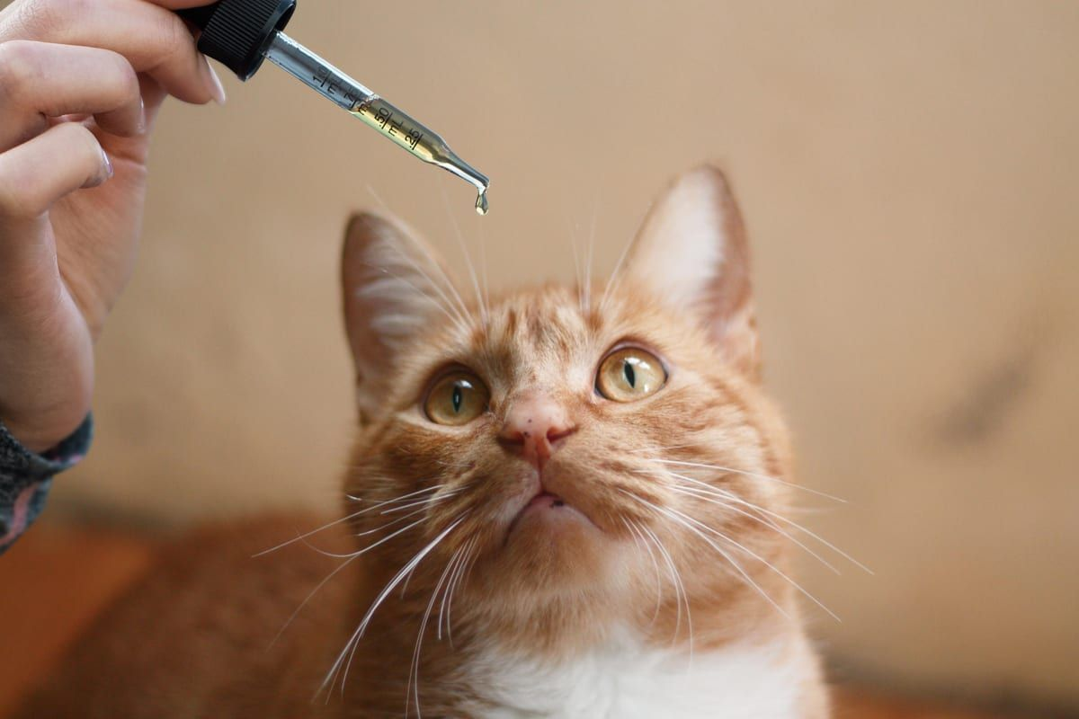 Best CBD Oil for Felines: The Top 3 CBD Brands You Can Trust